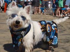 Dogs hang ten in Huntington Beach!   HLNtv.com