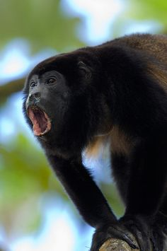Close-up Of A Black Howler Monkey Costa  Rica