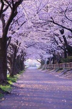 "lifeisverybeautiful: "" Cherry Blossom, Gifu, Japan via PHOTOHITO Cherry Blossom , Beautiful Tree Tunnel "" Beautiful World, Beautiful Places, Beautiful Dream, Beautiful Scenery, Beautiful Dresses, Romantic Places, Tree Tunnel, Japan Photo, Japan Travel"