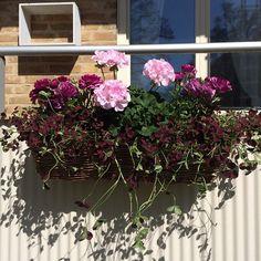 Hur ser din balkonglåda ut som i år? Here lite kommer inspiration ... # inspiration #inredning #balkong # balkonglåda #balkongblommor #pelargon # Klöver #ranunkel #romantisk # Vinröd # vilda #vacker # växthus # våren # TRÄDGÅRD #trend