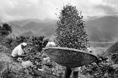 Harvesting coffee. Brazil