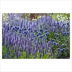 Echinops ritro 'Veitch's Blue' and Agastache 'Blue Fortune'