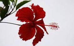 Resultado de imagem para lembranças e mimos de hibiscos e borboletas