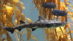 Did you know that leopard sharks sink unless they're swimming?