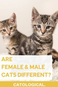 Did you know there are distinct differences between female and male cats? Right down to their biological make up! Figure out which gender is right for you before taking home your feline friend! #CatTips #CatFacts #AllAboutCats #CatCare #CatBlog Cat Tail Language, Cat Health Care, Kitten Care, Cat Behavior, Cute Little Animals, All About Cats, Cat Facts, Cool Cats, Pet Care