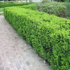 privacy please privet one of the most ubiquitous plants used in