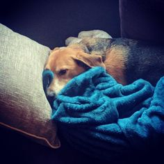 My boy has a new blanket. He hasn't wanted to move away from it in days. . . . #irishbeagle #beagle
