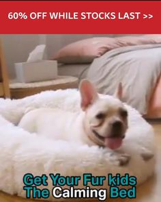 Chihuahua Puppies, Cute Puppies, Cute Dogs, Dogs And Puppies, Yorkie Breeders, Super Cute Animals, Cute Little Animals, Pet Odors, Australian Cattle Dog