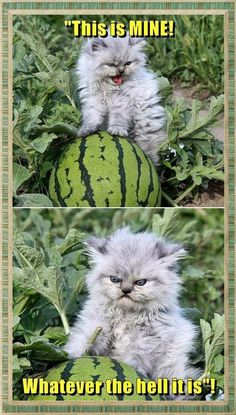 funny memes cats funny memes is part of Cat quotes funny - 9gag Funny, Funny Animal Memes, Funny Animal Pictures, Cute Funny Animals, Funny Cute, Cute Cats, Funny Memes, Memes Humor, Funny Animals