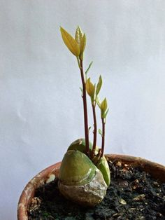 Stop Buying Avocados. Here's How to Grow an Avocado Tree in a Small Pot at Home 2