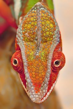 COLORFUL FACE Furcifer pardalis (Panther Chameleon), is a large species of chameleon.