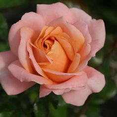 Lady Of The Mist™ - Heirloom Roses