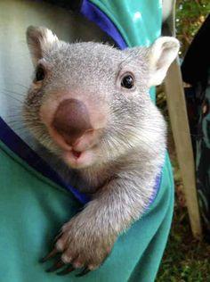Wiggles the wombat. Cute Wombat, Baby Wombat, Cute Baby Animals, Animals And Pets, Funny Animals, Animal Babies, Beautiful Cats, Animals Beautiful, Cute Australian Animals