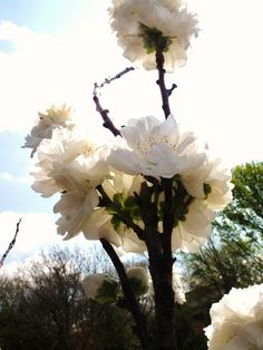 White Blossoms on a Tree2 By Kristine Euler