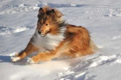Sheltie Nation 2011 #shelties #snow