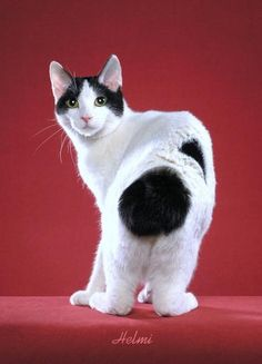 Japanese Bobtail with an adorable markings♥