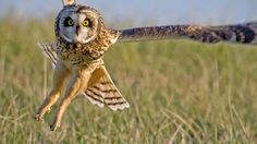 Short-eared Owl by Steve Gifford by Steve Gifford - IN on Flickr.