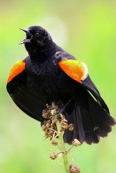 red-winged blackbird by Brett NJ on Flickr.