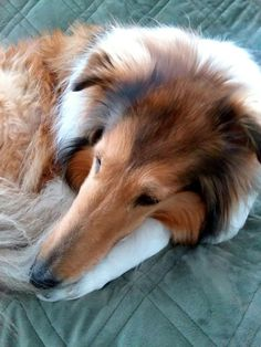 What a cutie! Smooth Collie, Rough Collie, Collie Puppies, Collie Dog, Sheep Dogs, The Perfect Dog, Night Night, Shetland Sheepdog, Superpower