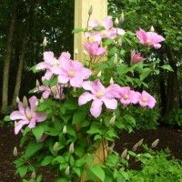 Photo Thumbnail #7: The clematis is called 'Comtesse de Bouchard.'