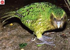 https://www.facebook.com/WonderBirds-171150349611448/ Vẹt Cú/Kakapo; Họ Vẹt Cú-Strigopidae; loài đặc hữu New Zealand || Kākāpō/Owl parrot (Strigops habroptilus) IUCN Red List of Threatened Species 3.1 : Critically Endangered (CR)(Loài cực kỳ nguy cấp)