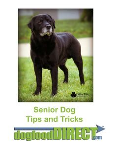 Senior dog tips and tricks. Our model is Bandit the Labrador and his photo is used with permission from Kathleen Riley www.RileyPhoto.zenfolio.com