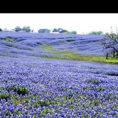 Texas Beauty. Photo taken near Ennis TX by Irene Whiteside.