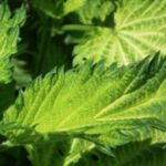 Nettle is full of vitamins and minerals. For medicinal purposes, the plant needs to be collected between May and October. Leaves Of Grass, Green Grass, Green Leaves, Plant Leaves, Plant Wallpaper, Nature Wallpaper, Unique Christmas Trees, Christmas Tree Ornaments, Christmas Items