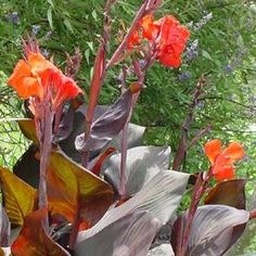 A beautiful exotic plant, easy to pull and store bulbs for the winter that multiply beautifully year after year.
