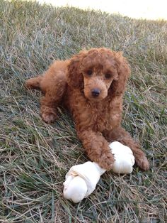 Red miniature poodle puppy. 12 weeks old. Such a sweetie!