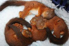 Red squirrels asleep - more at megacutie.co.uk