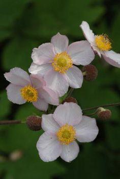 Anemone hupehensis var. japonica