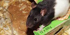 cara membasmi tikus dirumah