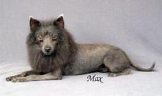 Max is an adoptable Pomeranian Dog in Colorado Springs, CO. Hello, my name is Max. A 1 yr old, 10 pound, male Pomeranian born 6/21/11. As you can see I have a cute Lion cut right now and I wear it wel...