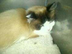 Date Listed 03-Jul-13 Last Edited 03-Jul-13 Address Calgary, AB T3G 5R7, Canada  View map I have lost this cat, a white and brown neutered male Ragdoll , no chip or ID , and am desperate to be reunited with him.  Please if you have and clue regarding his whereabouts, send me a message ASAP.  If you find him I am more than willing to give a reward for him.403 452 1013 View poster's