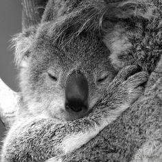 Baby Koala by ~shutterbugmom on deviantART