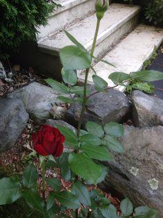 My roses 2014