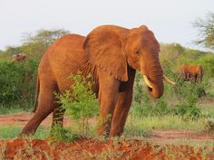 ❥ Elephant by Riccardo De Tomasi Elephant Love, Elephant Art, African Elephant, Elephant Pictures, Elephants Photos, Elephants Never Forget, Save The Elephants, Beautiful Creatures, Animals Beautiful