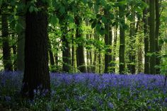 bluebells in Sherwood forest