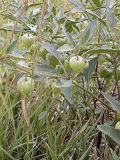 Physalis virginiana - Purple Ground cherry - Nightshade Family (Solanaceae) - Summer - Colorado Wildflower
