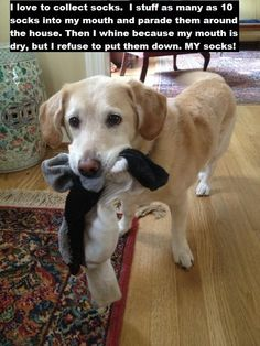"""""""I like to collect socks. I stuff as many as 10 in my mouth and parade them around the house. Then I whine because my mouth is dry, buy I refuse to put them down. MY socks!"""" ~ Dog Shaming shame - Yellow Labrador - sock hoarder"""