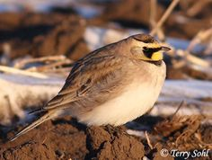 Horned Lark.  Winter visitor.