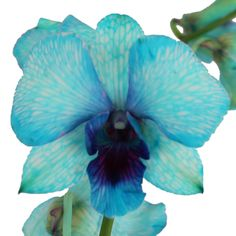 FiftyFlowers.com - Psychedelic Blue Loose Orchid Blooms