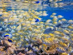 10 of the World's Best Snorkeling Destinations...Convict surgeonfish in the Maldives