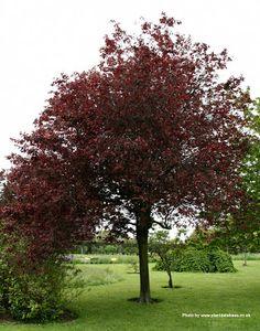 prunus cerasiflora on pinterest prunus cherries and leaves. Black Bedroom Furniture Sets. Home Design Ideas