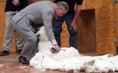 The Prince of Wales tries his hand at shearing a sheep in New Zealand, in 2005
