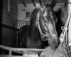 Tim Tam in his stall the day after his second place finish on a broken right front ankle in the Belmont Stakes. Calumet Farm, The Belmont Stakes, Preakness Stakes, Triple Crown Winners, Derby Winners, American Pharoah, Tim Tam, Sport Of Kings, Thoroughbred Horse