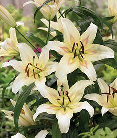Lily Oriental, Bonbini - Lilies at Burpee.com