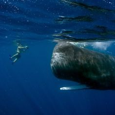 The photographer's son Dylan poses for a photo of Scar the habituated Sperm whale off the coast of The Commonwealth of Dominica.