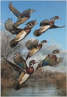 2007 Multi State Duck Stamp Print  Wood Ducks  By Robert Steiner